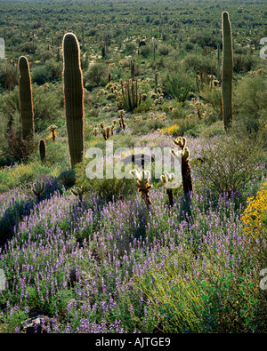 Organ Pipe National Park, AZ: Sonoran Desert hillside with saguaro cactus and Coulter's lupine in spring - Stock Photo