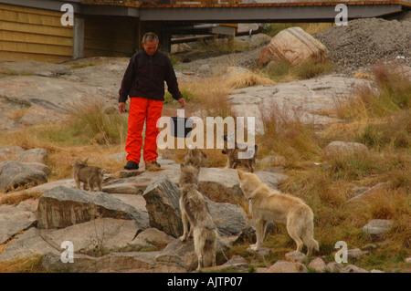 Greenland Inuit in Ilulissat feeding his huskies - Stock Photo