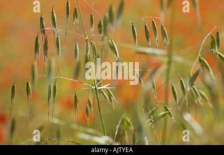 Close up of a stem of Wild oat or Avena fatua in a field with Common poppies or Papaver rhoeas in background - Stock Photo