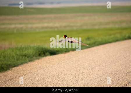 Ring necked Pheasant flying over country road - Stock Photo