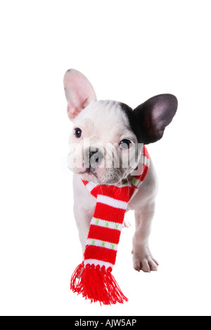 Adorable French Bulldog puppy wearing red and white scarf around neck - Stock Photo