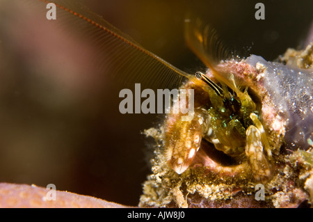 Hard coral or Hermit crab Paguritta harmsi Anilao Batangas Philippines Pacific Ocean - Stock Photo