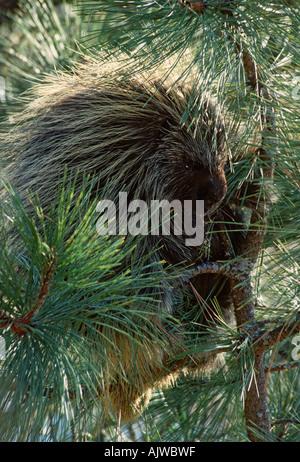 Porcupine, Erethizon dorsatum, in a pine tree, ponderosa pine - Stock Photo