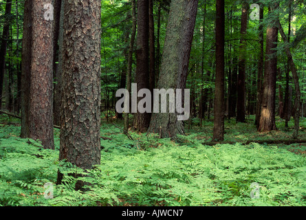 White pine and red pine forest, Hartwick Pines State Forest, Michigan - Stock Photo