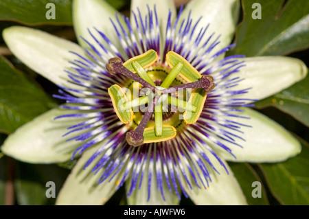 Horizontal macro of a blue crown passion flower 'passiflora caerulea' in full bloom - Stock Photo