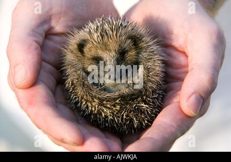Erinaceus europaeus. Young Hedgehog asleep cradled in hands in morning sunlight - Stock Photo