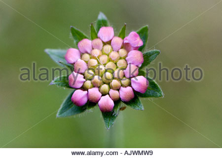 Knautia arvensis. Field scabious flower bud pattern before the petals have opened - Stock Photo