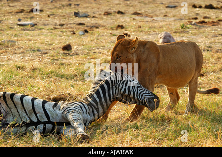 Lioness at a Zebra kill Savuti Narional Park Botswana - Stock Photo