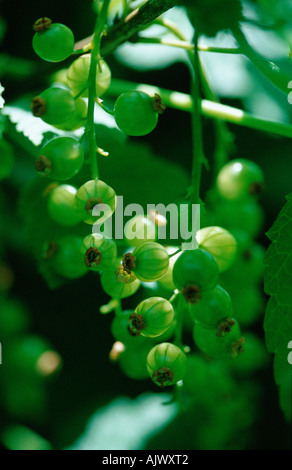 Red Currant / Rote Johannisbeere - Stock Photo