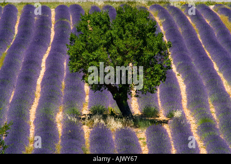 France Provence Tree in lavender field - Stock Photo