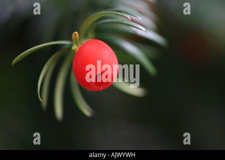 'Yew Tree Berry' close up macro shot - Stock Photo