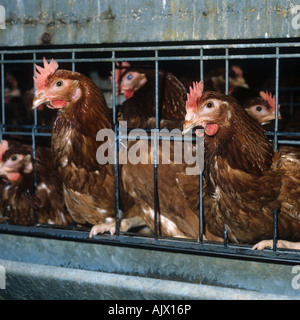 Isa brown warren chickens in battery cages - Stock Photo
