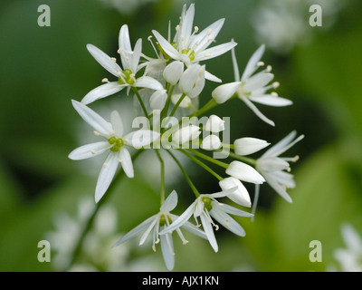 Ramsons or Wild Garlic, allium ursinum - Stock Photo