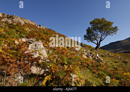 Lone birch tree on a rocky hill slope in early autumn outlined against a blue sky near Schiehallion Perthshire Scotland - Stock Photo