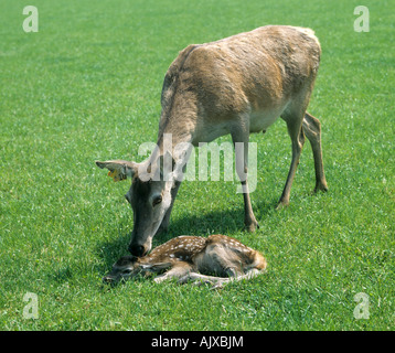 Farmed red deer hind attending her young calf on grass - Stock Photo