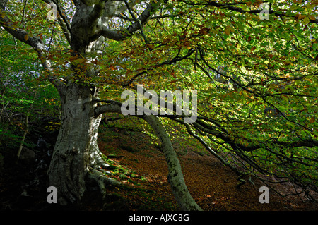 Large mature beech tree in fine autumn colours on a fine morning at Golspie Glen Golspie Sutherland northern Scotland - Stock Photo