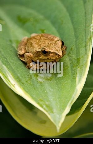 Spring peeper Hyla crucifer sitting on garden Spiderwort flower Ontario - Stock Photo