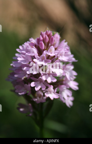 Pyramidal orchid in the Sibillini National Park, central Apennines, Italy - Stock Photo