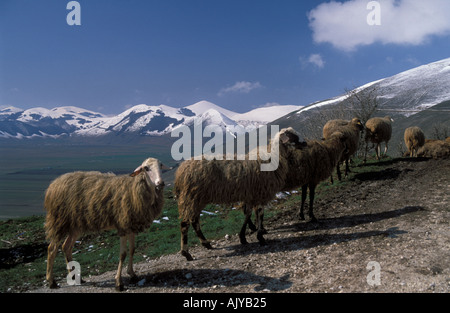 Sheep flock above plateau with Sibellinean Mountains snow covered in early spring Umbira Italy - Stock Photo