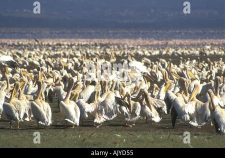 White Pelicans grooming and preening themselves after bathing in a fresh water stream Lake Nakuru Kenya East Africa - Stock Photo