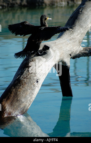 A cormorant dries its wings in the early morning sun - Stock Photo