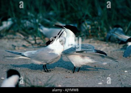 Sandwich Tern / Brandseeschwalbe - Stock Photo