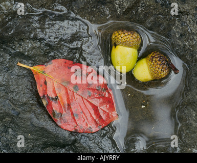 Detail of an acorn from a southern oak tree and the leaft from an elm in autum - Stock Photo