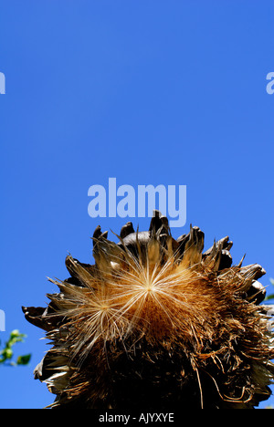 close up of a dry globe artichoke flower and seed against deep blue sky, vertical format - Stock Photo