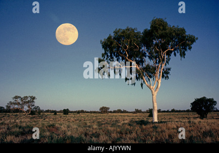 AUSTRALIA QUEENSLAND OUTBACK Moonrise over a gum tree in the remote Queensland Outback - Stock Photo