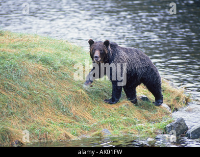 A coastal grizzly bear Ursus horribilis in search of migrating salmon in a small salmon stream near Knight Inlet - Stock Photo