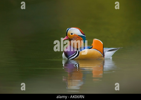 MANDARIN DUCK (Aix gallerica) in breeding plumage - Stock Photo
