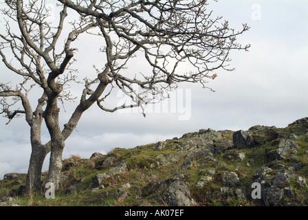 Garry Oak tree Quercus garrayanna on cliff Pipers Lagoon Park Nanaimo British Columbia Canada - Stock Photo