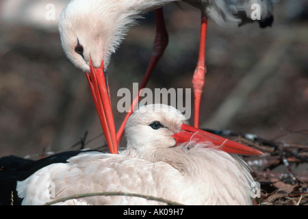White Stork / Weissstorch - Stock Photo
