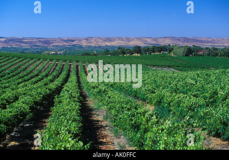 South Australia Mclaren Vale Adelaide Vineyard Vineyards Oliverhill Rows of vines Maclaren Vale wine making area - Stock Photo