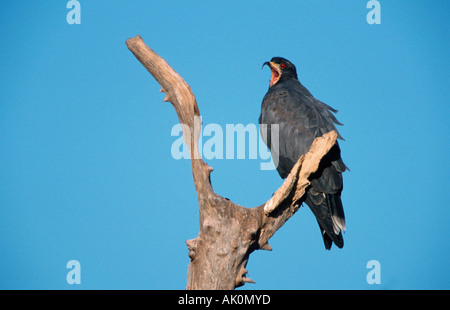Snail Kite / Everglade Kite - Stock Photo