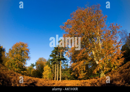 English woodland autumn fall colours colors forest afternoon sun sunshine shining Shropshire England UK GB - Stock Photo
