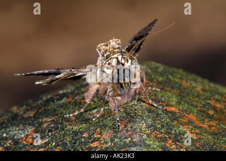 spectacle moth Abrostola tripartita cornwall - Stock Photo