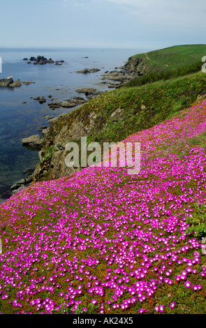 hottentot fig on cliffs at the Lizard cornwall - Stock Photo