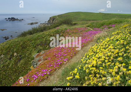 kidney vetch and hottentot fig on the cliffs at the Lizard cornwall summer - Stock Photo