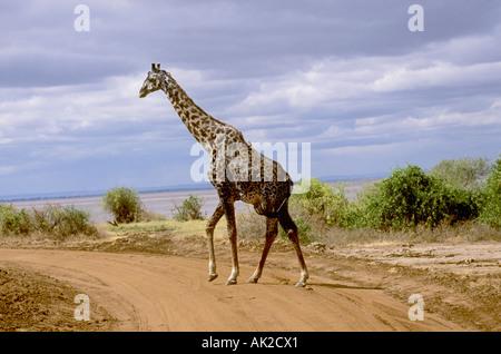 Maasai Giraffe in Lake Manyara National Park, Tanzania - Stock Photo