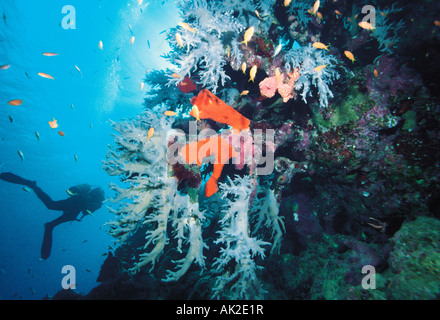 Egypt. Red Sea. Underwater scuba diver silhouette above coral reef with grey soft corals and red sponges. - Stock Photo
