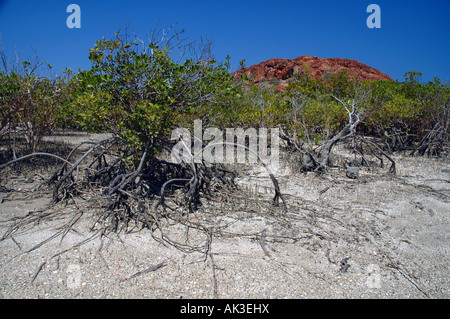Tiny mangroves growing in extreme conditions on the shores of Cowrie Cove, Burrup Peninsula, Pilbara region, Western - Stock Photo