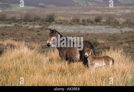 Exmoor Pony Foal Exmoor Devon UK - Stock Photo