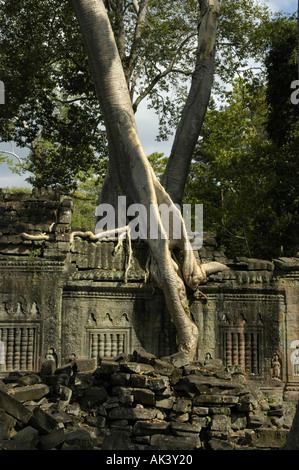 Decayed temple Preah Khan covered with old tree Angkor Siem Reap Cambodia - Stock Photo