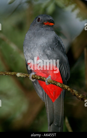 Slaty-tailed trogon in Soberania national park, Republic of Panama - Stock Photo
