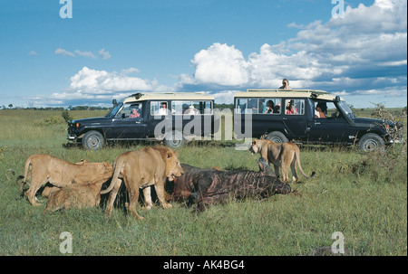 Two Toyota Landcruisers with tourist clients close to lion pride on kill Masai Mara National Reserve Kenya - Stock Photo
