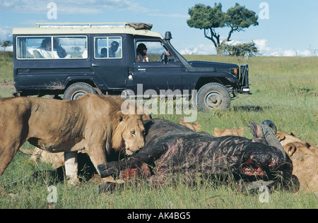 Toyota Landcruiser with clients close lions feeding on a buffalo carcass in the Masai Mara National Reserve Kenya - Stock Photo