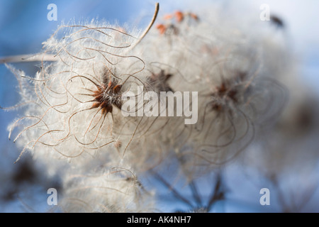 Clematis vitalba, known colloquially as Old man's beard Ranunculales Ranunculaceae - Stock Photo