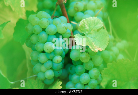 Bunch of Grapes Weisse Weintrauben am Rebstock Pflanzen plants Nutzpflanze useful plant gruen green Fruechte Frucht - Stock Photo