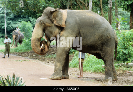 male working elephant with mahout - Stock Photo